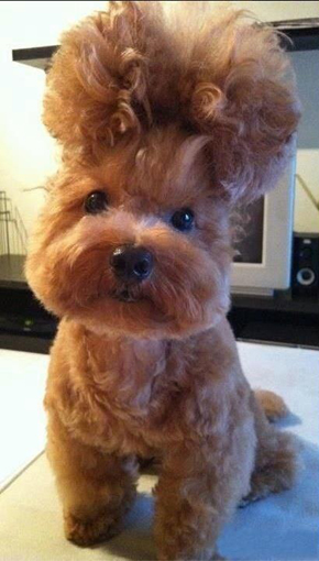 Cachorro com bad hair day